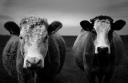cowcouple
